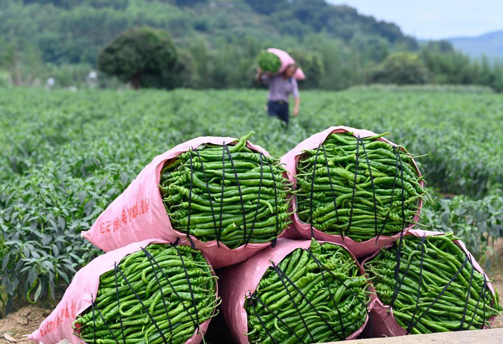 廣西柳州:辣椒豐收