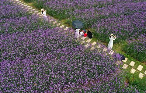安徽黃山:紫色花海醉初夏