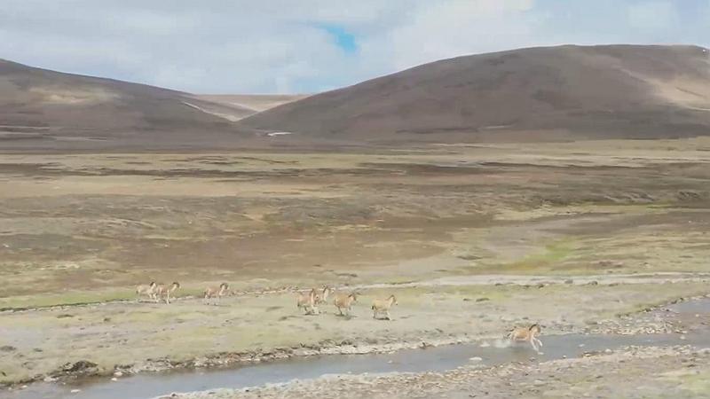 """國社@四川 """"驢出沒""""!藏野驢群奔走在川西高原"""