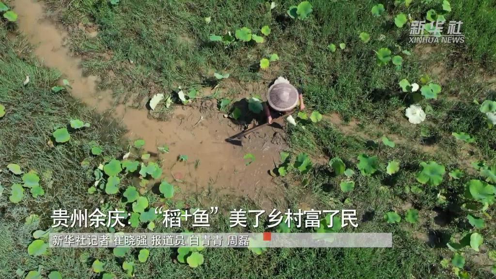 """貴州余慶:""""稻+魚""""美了鄉村富了民"""