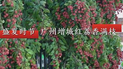 直播大灣區丨盛夏時節 廣州增城紅荔香滿枝
