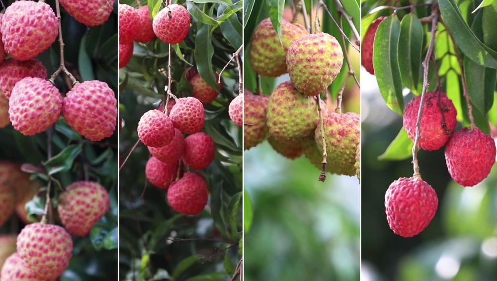 在廣州這個大城市裏,超55萬畝荔枝熟了!