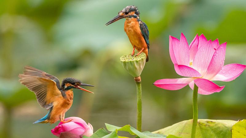 領略生物多樣性之美 夏韻濃 荷花深處翠鳥忙