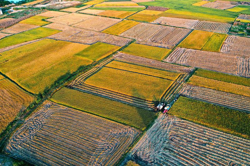 湖北南漳:稻飄香 糧滿倉 看大地滿目金黃
