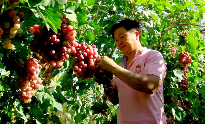 """【""""飛閱""""中國】甘肅臨澤:戈壁灘上葡萄熟了"""