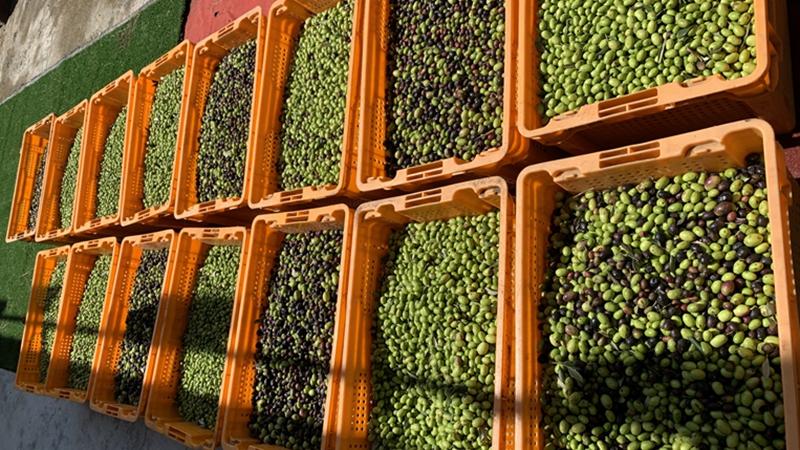 """沉浸式感受""""液體黃金""""魅力 成都金堂縣舉行油橄欖採摘活動"""