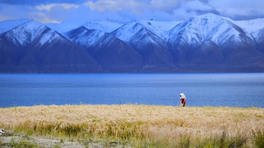 藏北高原深處的秋收