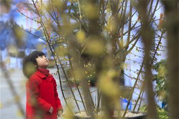 重慶北碚:蠟梅花開高速服務區