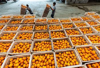 湖北秭歸:春季臍橙助農增收
