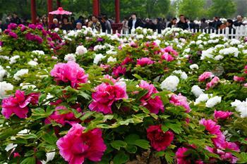 山東菏澤:花開富貴迎客來