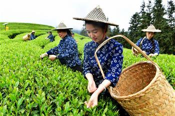 武夷山:生態茶園 祭茶喊山