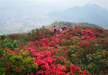 貴州丹寨:嶺上開遍映山紅