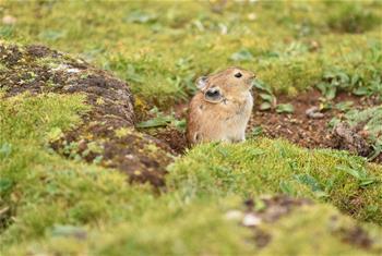高原鼠兔:青藏高原特有的小精靈