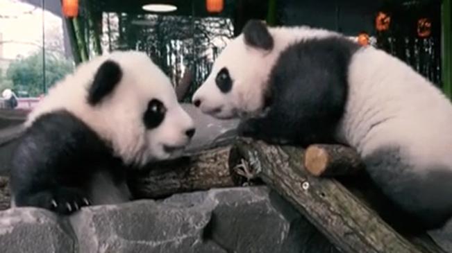 """萌物!雙份可愛 雙胞胎大熊貓""""迎客"""""""