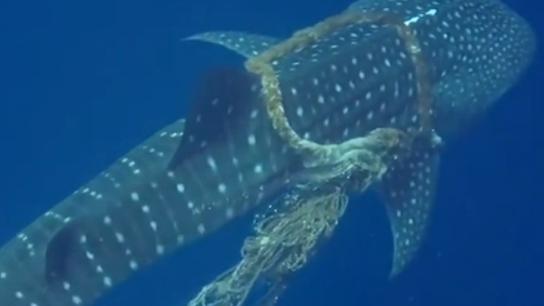 """暖心! 返身""""致謝"""" 馬爾代夫鯨鯊受困獲救"""