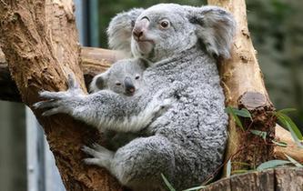 考拉母與子