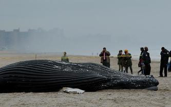座頭鯨擱淺海灘