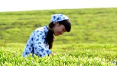 江西德興江南春雨催新芽 千畝丘陵忙採茶