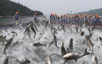 """浙江千島湖上演""""巨網捕魚"""""""