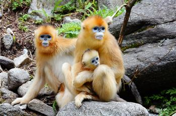 密林中的精靈——秦嶺金絲猴