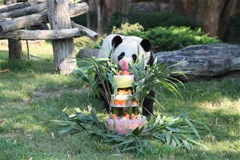 法國首只大熊貓寶寶周歲慶生