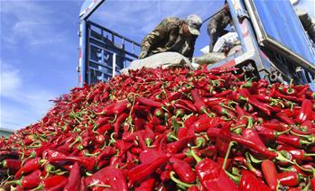 吉林通榆:辣椒豐收