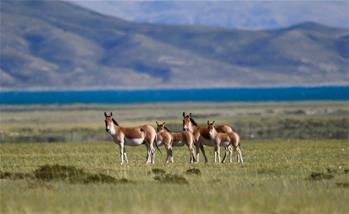 西藏阿裏:野生動物的樂園