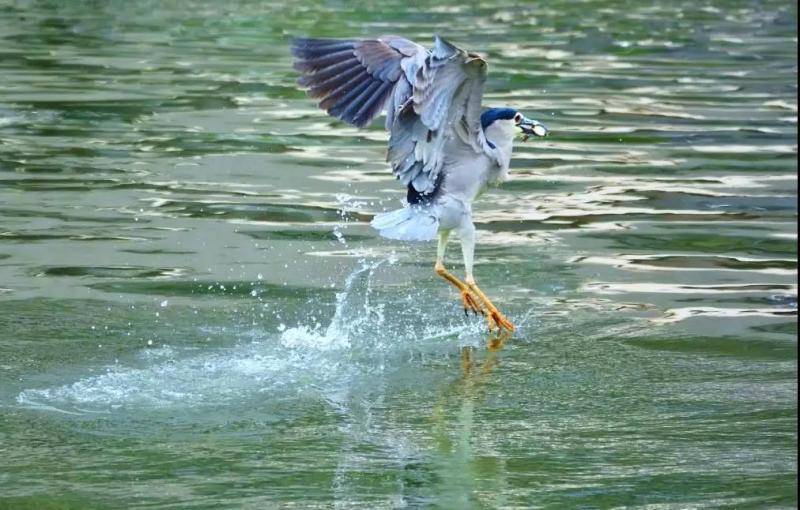 蘇州河邊夜鷺駐扎上海十年 傳遞了什麼信息?