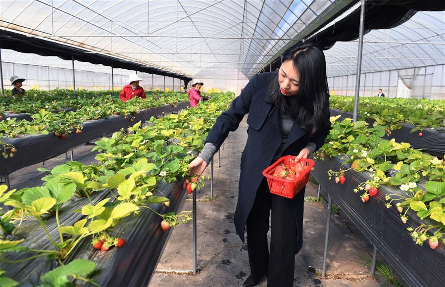 雲南富民:鄉村振興帶動農民增收