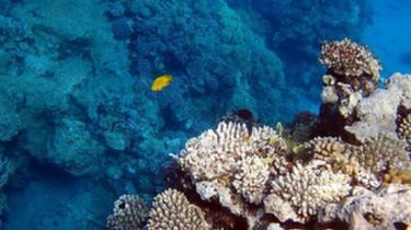 海洋酸化對珊瑚礁魚類影響或可忽略不計