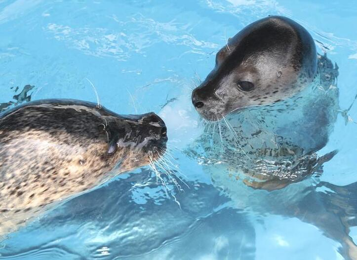 哈爾濱:極地海豹室外過夏日