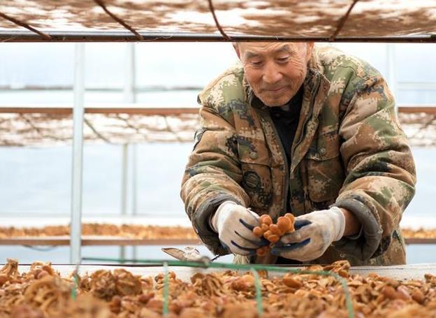 黑龍江明水:食用菌産業助農脫貧增收