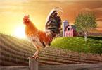 公雞為什麼能報曉?