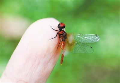 侏紅小蜻:蜻蜓界的迷你限量版