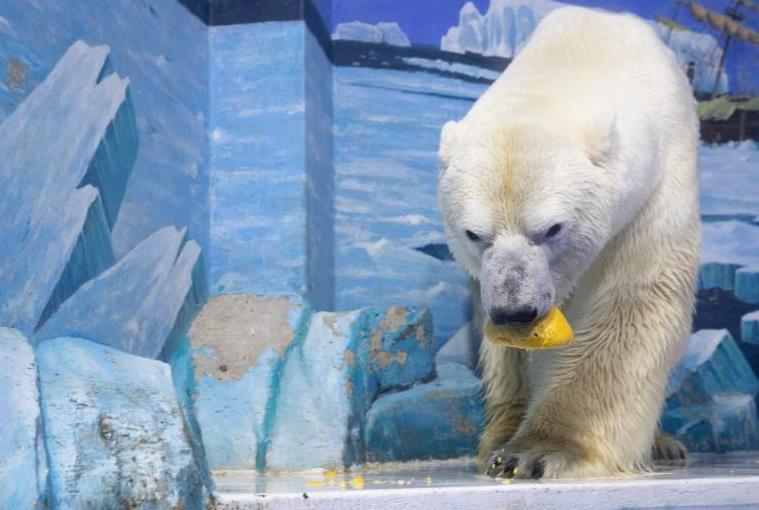 """哈爾濱:北極熊吃上""""巨型元宵"""""""