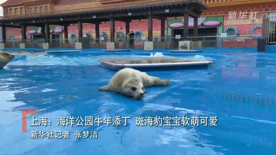 上海:海洋公園牛年添丁 斑海豹寶寶軟萌可愛