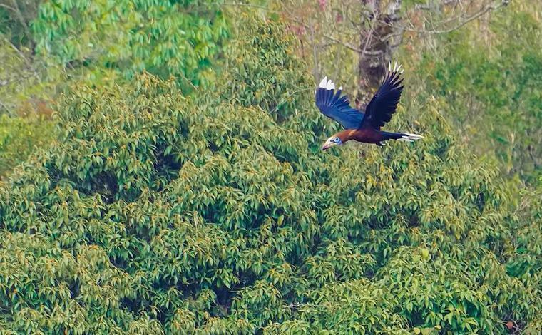 瀕危鳥類棕頸犀鳥現身雲南盈江