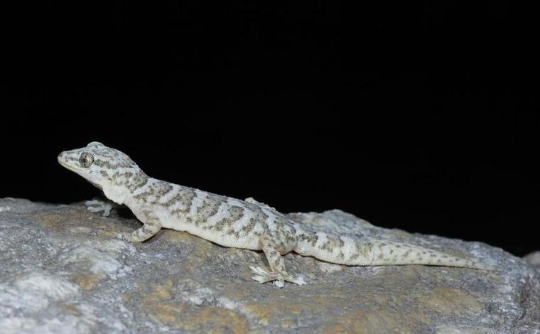 中國科學家在橫斷山區發現分布海拔最高的壁虎新種