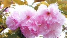 四川綿陽千畝櫻花粉色綻放浪漫至極