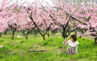 寧波:桃花灼灼映春色