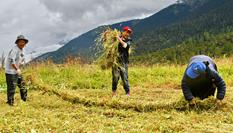 西藏林芝巴宜區牧草豐收