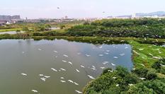 江西金溪:白鷺翩躚生態美