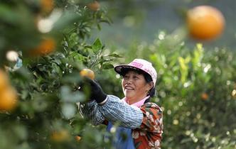 貴州丹寨:苗鄉金秋 柑橘飄香