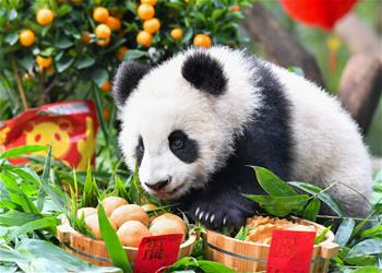 大熊貓寶寶迎新春
