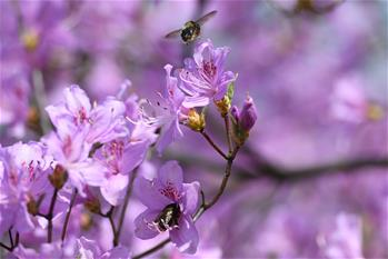 安徽:杜鵑花開引客來