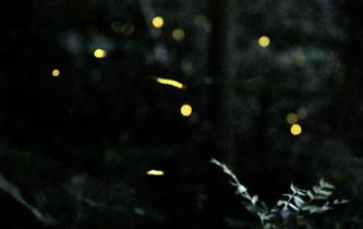 杭州夏夜 螢火蟲飛舞夢幻唯美