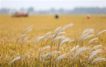 金色豐收稻飄香
