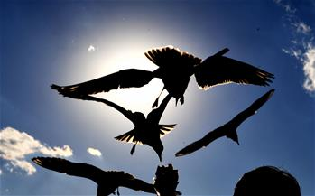 昆明:紅嘴鷗光影