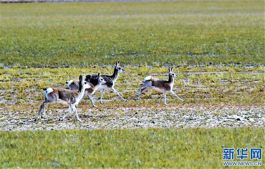 西藏羌塘:野生动物的乐园