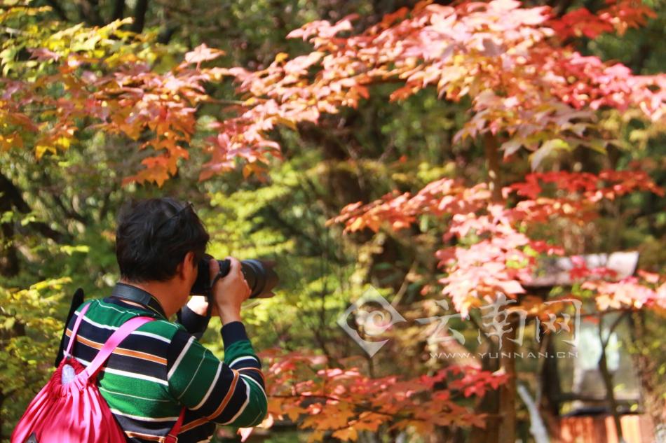 又是一年红枫季 昆明黑龙潭公园枫叶正当时